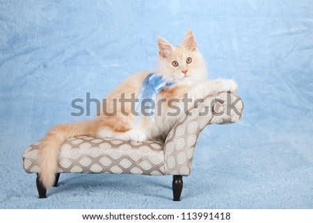 Red shaded silver Maine Coon kitten sitting on miniature chaise couch sofa on blue background - stock photo