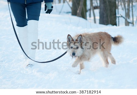Red shaggy terrier mongrel dog walks on leash on white snow - stock photo