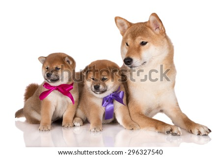 red shiba inu dog and two adorable puppies in ribbons - stock photo