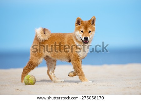 red shiba-inu puppy walking on a beach - stock photo