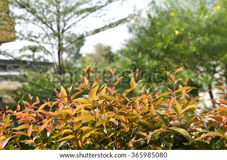 Red shoot or Treetop of Australian Rose Apple, Brush Cherry,Creek Lilly pilly,Creek, Scrub Cherry plant (Syzygium australe) in morning light, Focus On a shoot and blur bokeh background with copy space - stock photo