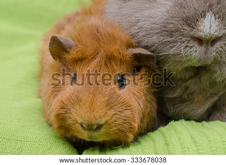 red shorthaired peruvian guinea pig young (with curly)