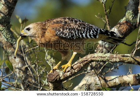 Red-shoulder Hawk with snake / Hawk's Lunch - stock photo