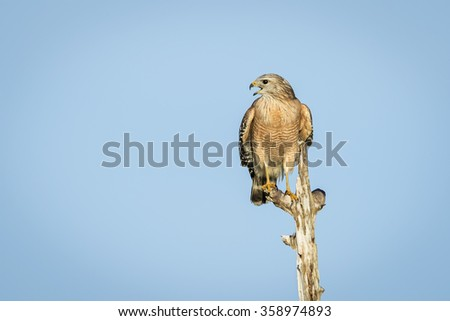 Red-shouldered Hawk (Buteo lineatus) perched on a dead tree - Florida