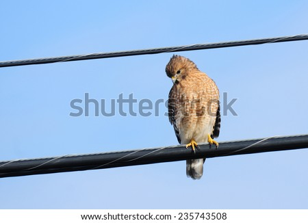 Red-shouldered hawk, buteo lineatus, perched on utility wires along a city street - stock photo