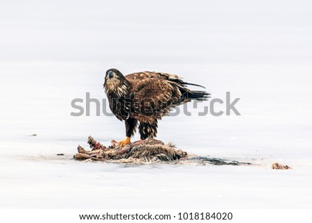 Red shouldered hawk by animal carcass on the frozen Hauser Lake in Idaho.