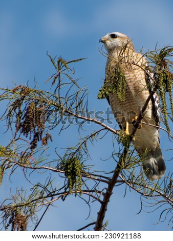 Red Shouldered Hawk perched on top of a tree - stock photo