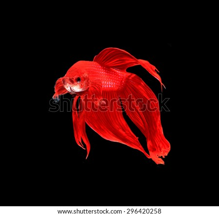 Red siamese fighting fish, betta fish isolated on black background. - stock photo