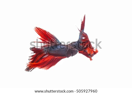 Red siamese fighting fish movement on white background,