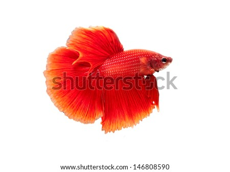 red siamese fighting fish on white background - stock photo