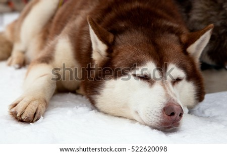 Red siberian husky dog sleeping on a snow