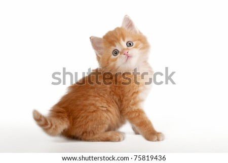 Red siberian kitten on white background - stock photo