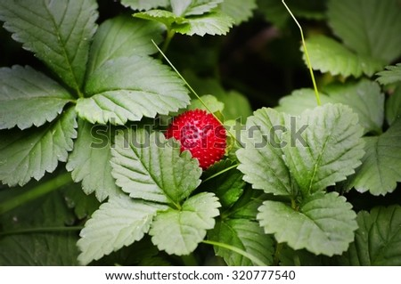 Red Single Strawberry Over Green Leaves - stock photo