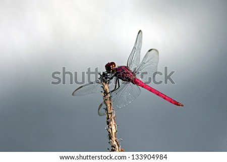 Red skimmer on a branch
