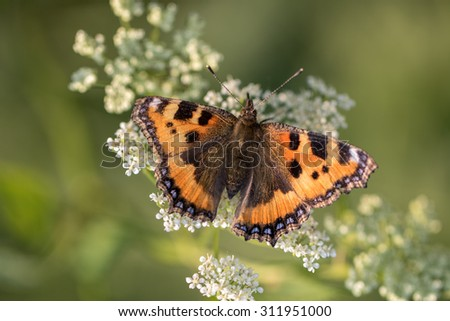 Red Small Tortoiseshell butterfly resting on White Flower