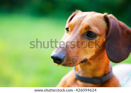 Red smooth haired dachshund portrait closeup  against blurred nature background - stock photo
