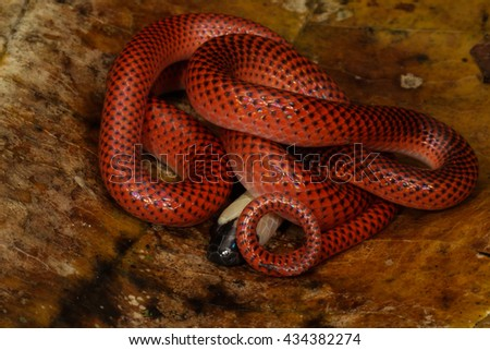 Red Snake - stock photo