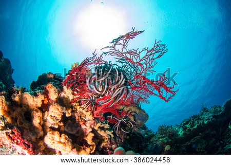 Red soft coral in shallow water, with the sun behind. Nusa Penida, Indonesia. - stock photo
