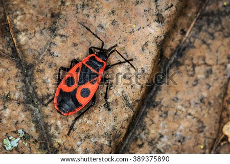 red soldier bug in forest - stock photo