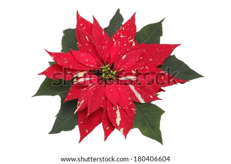 red speckled poinsettia on white background - stock photo
