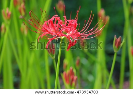 red spider lily of Japan