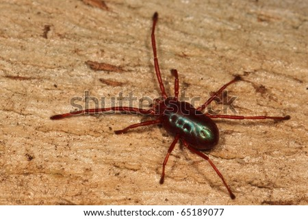 Red spider-mite with long legs - stock photo