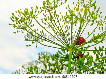 red spotted beetles on Dill day in cloudy weather