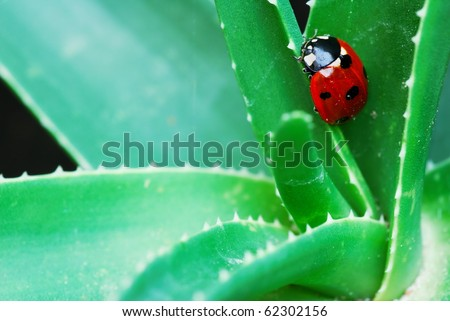 Red spotted Ladybird on green aloe leaves (selective focus on ladybird head)