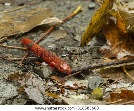 Red Spotted Salamander - stock photo