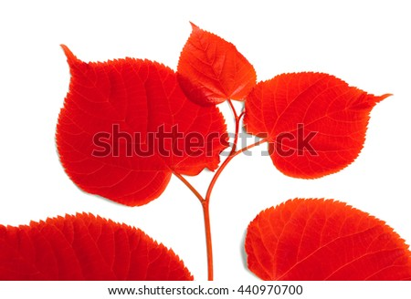 Red sprig of linden-tree. Isolated on white background. - stock photo