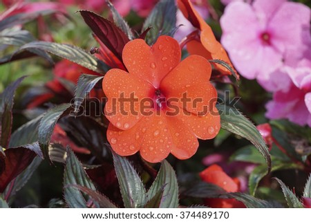 red spring flower with dew on colorful background. shallow dof. selective focus - stock photo