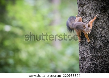 Red squirrel - stock photo