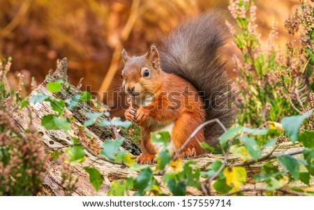 Red Squirrel Autumn England - stock photo