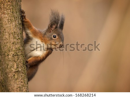 Red squirrel checks me out from the safety of the tree - stock photo