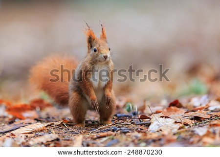 Red squirrel cheerful  - stock photo