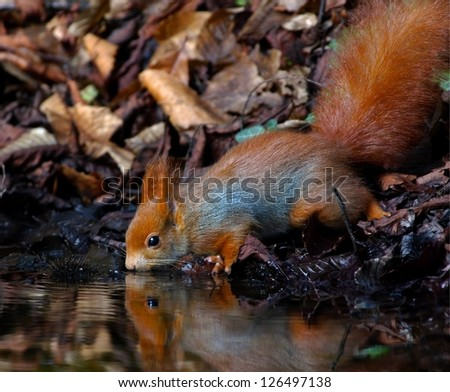 Red Squirrel drinking and reflected in water - stock photo