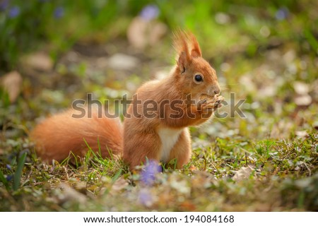Red squirrel eating his acorn among spring flowers