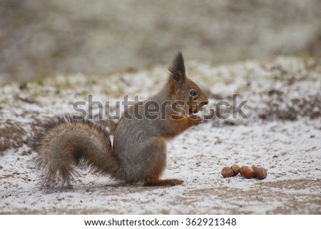 Red squirrel eating nut - stock photo