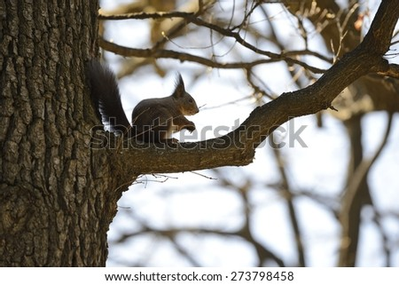 Red squirrel eating nuts on a branch - stock photo