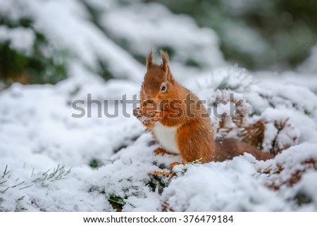 Red squirrel gathering food in Winter, County of Northumberland, England - stock photo