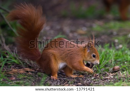 Red Squirrel gathering nuts - stock photo