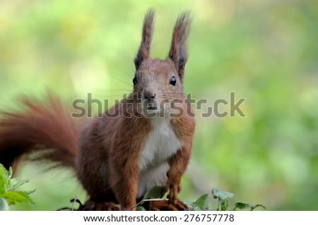 Red squirrel getting a higher view on fallen tree - stock photo