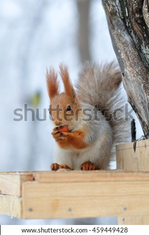 Red squirrel gnaws nuts in the feeder in winter - stock photo