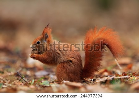 Red squirrel has nut - stock photo