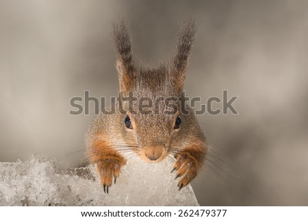 red squirrel holding ice watching the camera