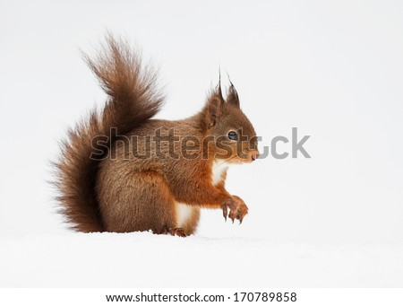 Red squirrel in deep snow. - stock photo