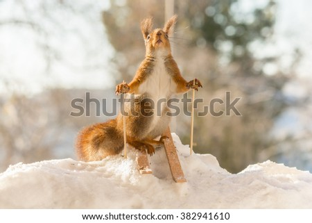 red squirrel in snow with skies - stock photo