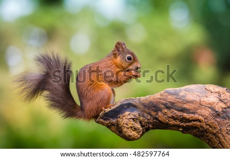 Red squirrel in The County of Northumberland, England