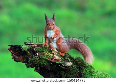 Red Squirrel in the forest - stock photo
