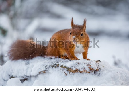 Red Squirrel in Winter, County of Northumberland, England - stock photo